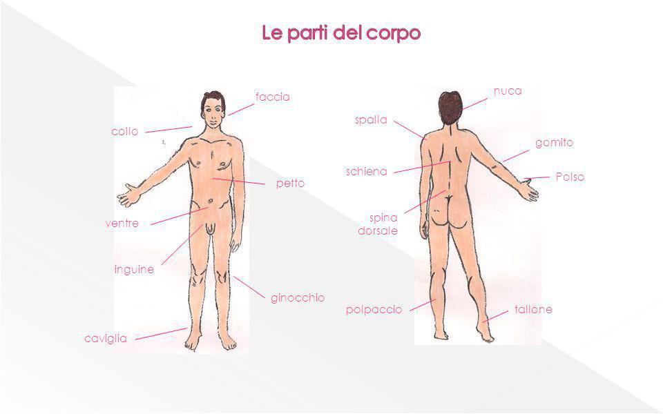 Le parti del corpo nuca faccia spalla collo gomito schiena Polso petto