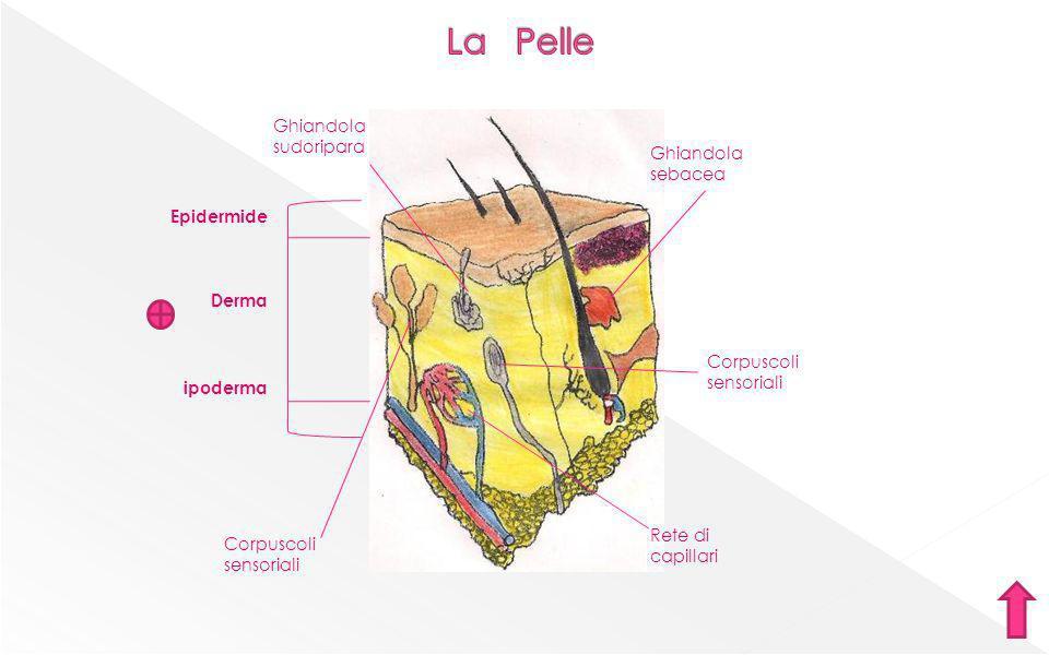 La Pelle Ghiandola sudoripara Ghiandola sebacea Epidermide Derma