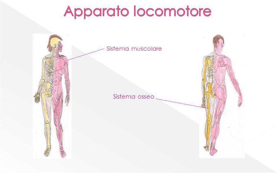 Apparato locomotore Sistema muscolare Sistema osseo