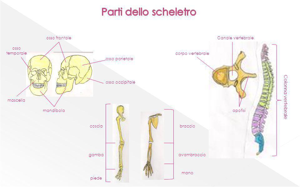 Parti dello scheletro Colonna vertebrale osso frontale