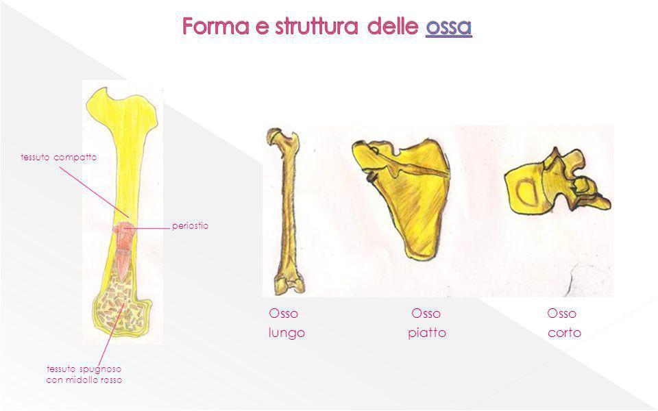 Forma e struttura delle ossa