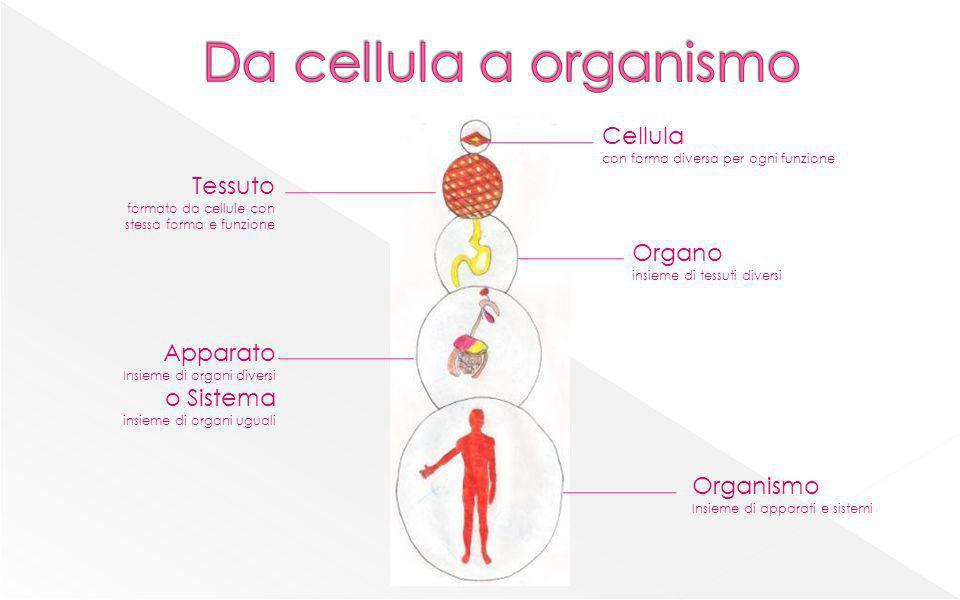 Da cellula a organismo Cellula Tessuto Organo Apparato o Sistema