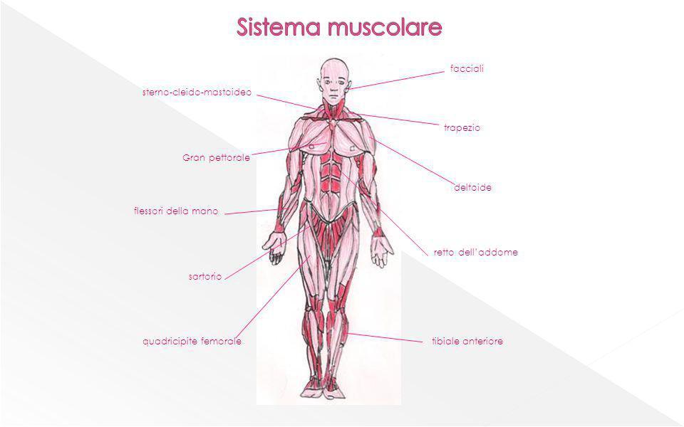 Sistema muscolare facciali sterno-cleido-mastoideo trapezio