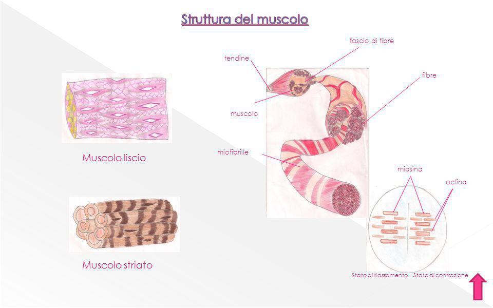 Struttura del muscolo Muscolo liscio Muscolo striato fascio di fibre