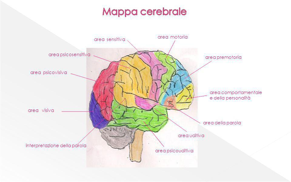Mappa cerebrale area motoria area sensitiva area psicosensitiva