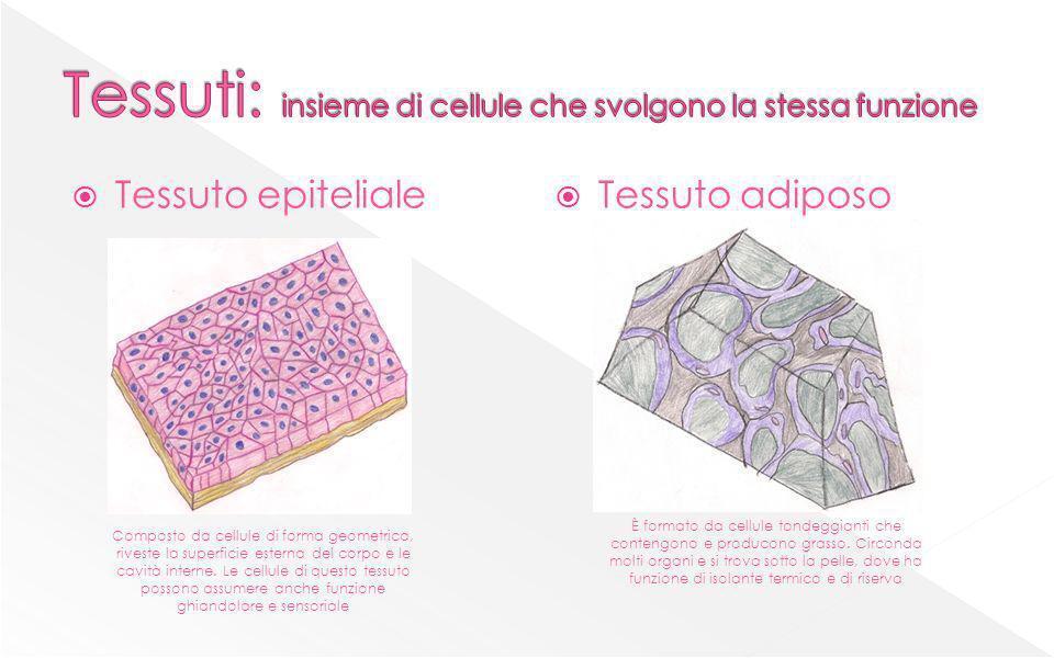 Tessuti: insieme di cellule che svolgono la stessa funzione