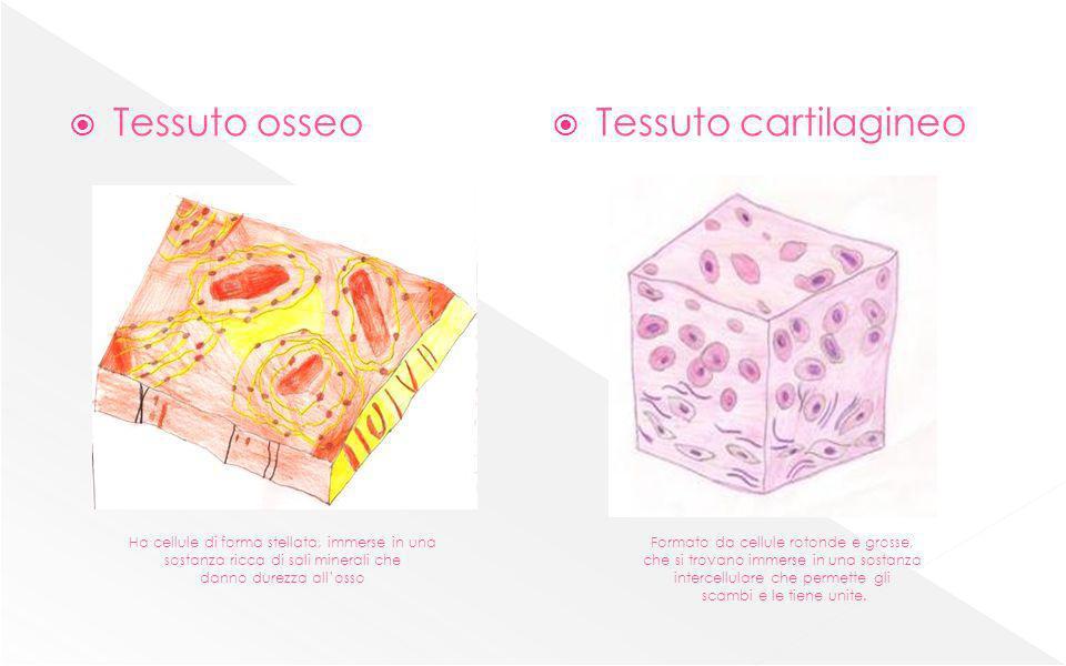 Tessuto osseo Tessuto cartilagineo