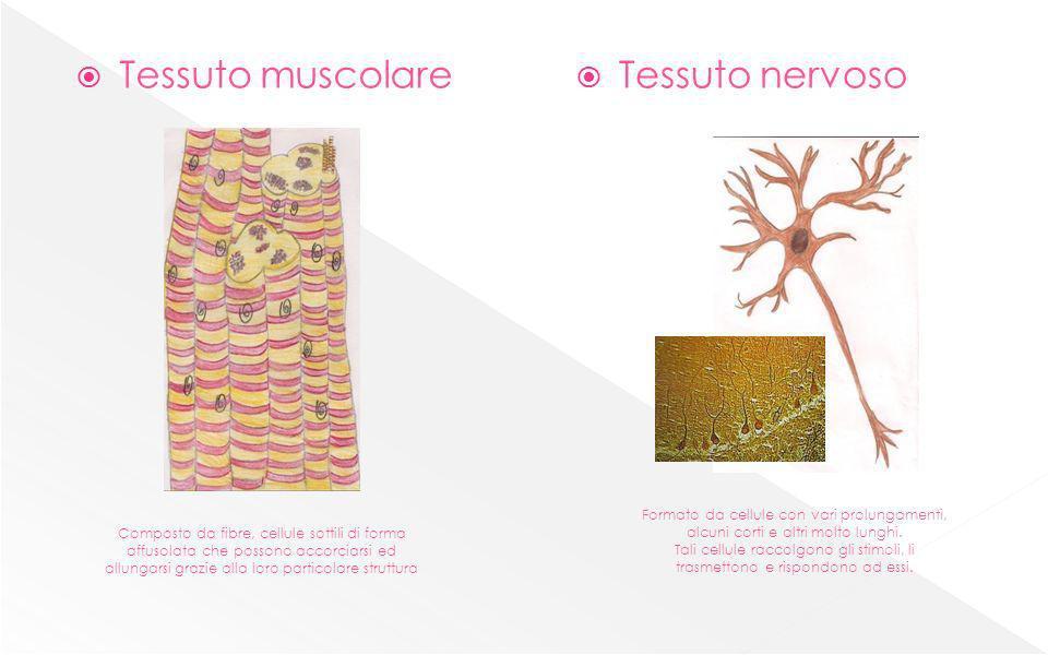 Tessuto muscolare Tessuto nervoso