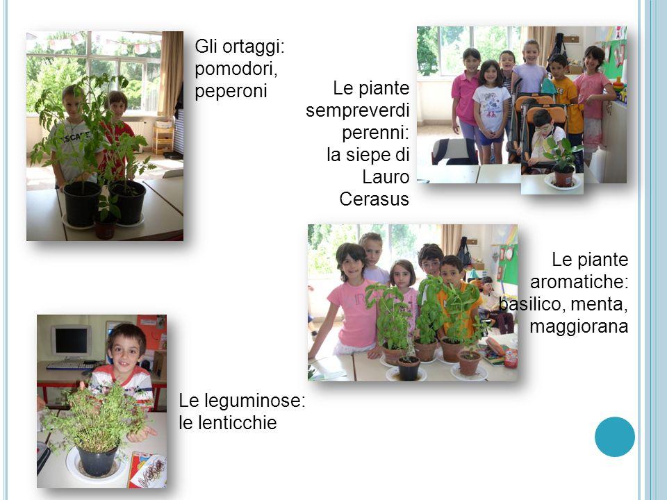 Gli ortaggi:pomodori, peperoni. Le piante sempreverdi perenni: la siepe di Lauro Cerasus. Le piante aromatiche: