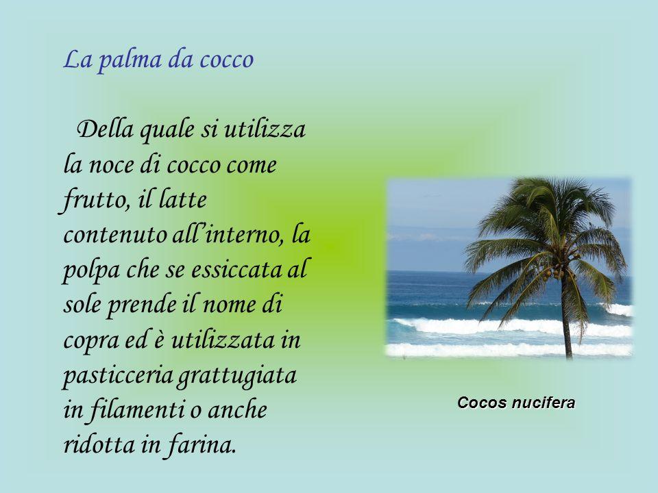 La palma da cocco