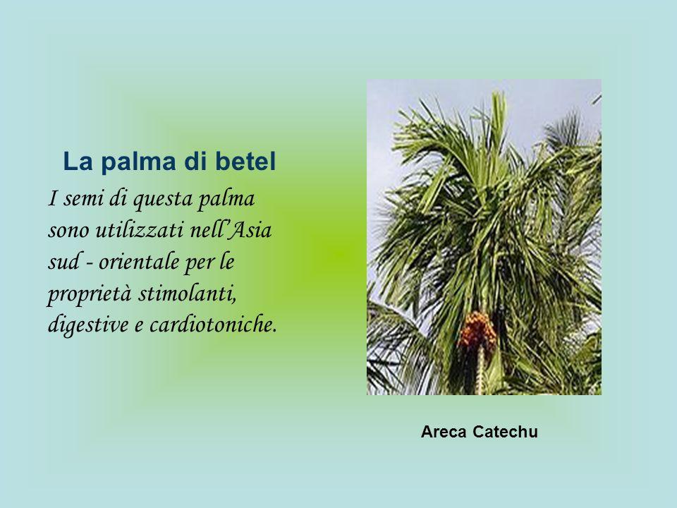 La palma di betelI semi di questa palma sono utilizzati nell'Asia sud - orientale per le proprietà stimolanti, digestive e cardiotoniche.