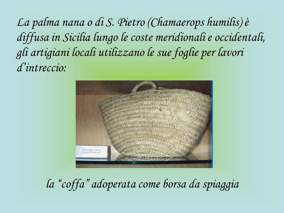 La palma nana o di S. Pietro (Chamaerops humilis) è diffusa in Sicilia lungo le coste meridionali e occidentali, gli artigiani locali utilizzano le sue foglie per lavori d'intreccio: