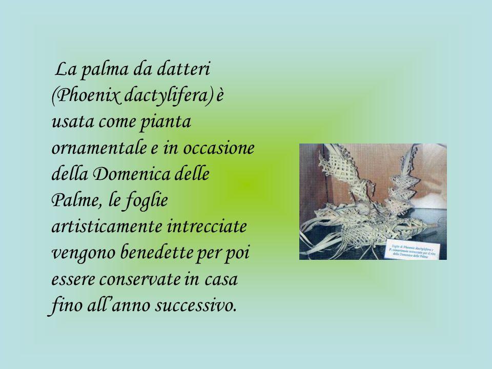 La palma da datteri (Phoenix dactylifera) è usata come pianta ornamentale e in occasione della Domenica delle Palme, le foglie artisticamente intrecciate vengono benedette per poi essere conservate in casa fino all'anno successivo.