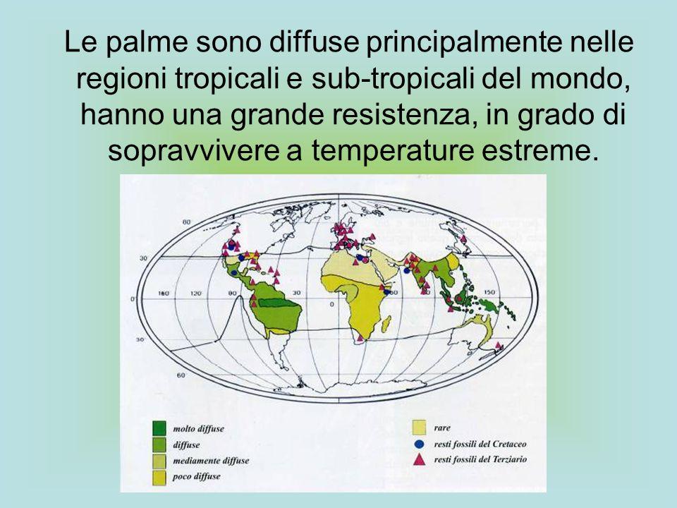 Le palme sono diffuse principalmente nelle regioni tropicali e sub-tropicali del mondo, hanno una grande resistenza, in grado di sopravvivere a temperature estreme.