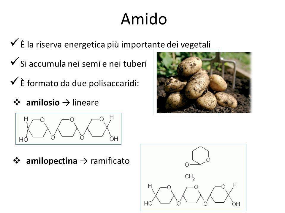 Amido È la riserva energetica più importante dei vegetali