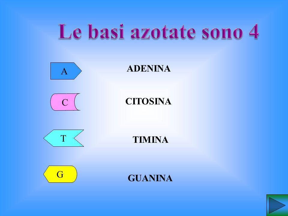 Le basi azotate sono 4 A ADENINA C CITOSINA T TIMINA G GUANINA