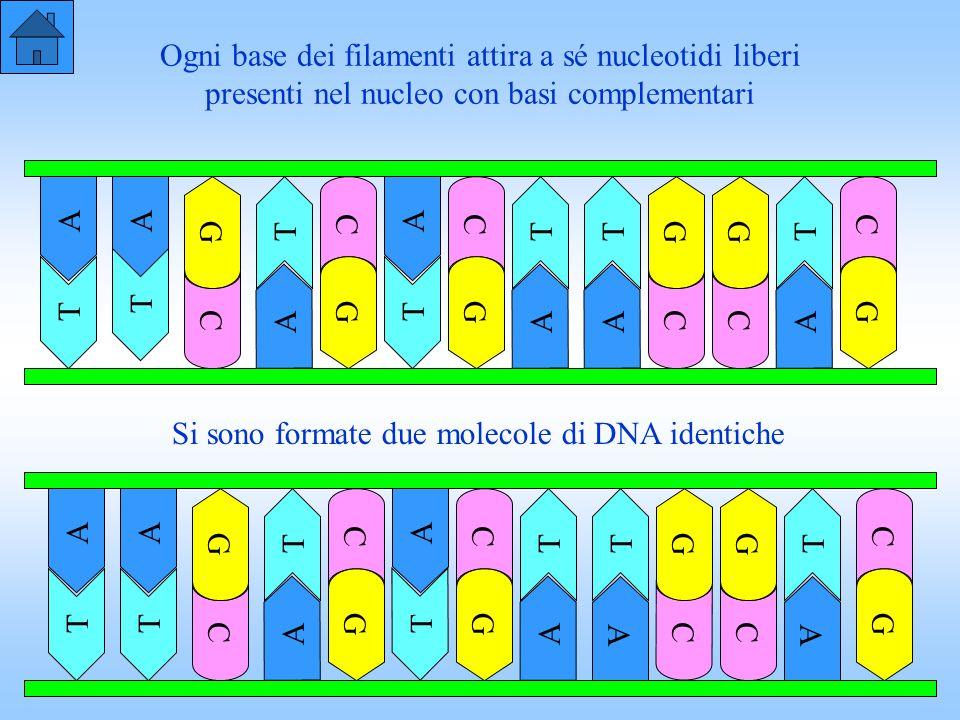 Ogni base dei filamenti attira a sé nucleotidi liberi