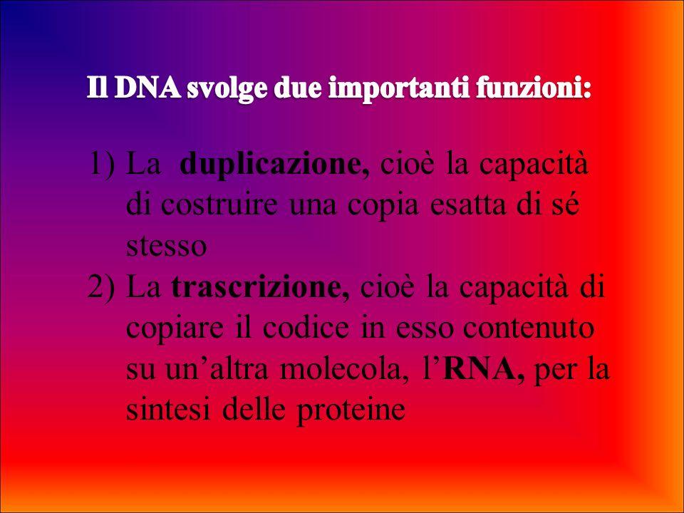 Il DNA svolge due importanti funzioni: