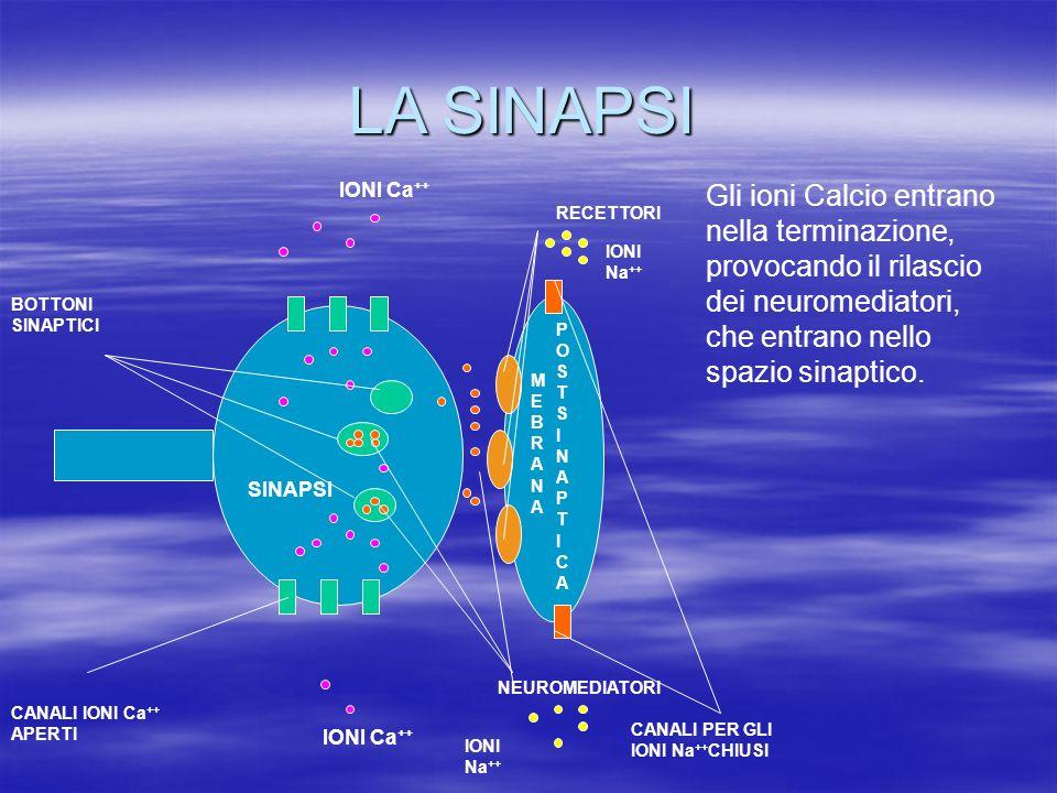 LA SINAPSI IONI Ca++ Gli ioni Calcio entrano nella terminazione, provocando il rilascio dei neuromediatori, che entrano nello spazio sinaptico.