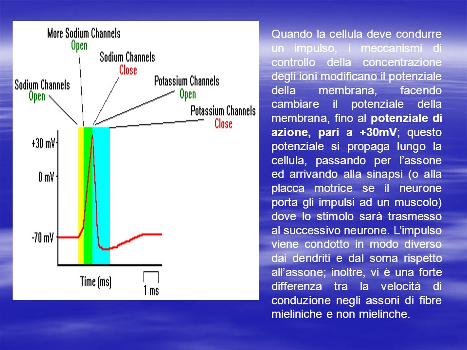 Quando la cellula deve condurre un impulso, i meccanismi di controllo della concentrazione degli ioni modificano il potenziale della membrana, facendo cambiare il potenziale della membrana, fino al potenziale di azione, pari a +30mV; questo potenziale si propaga lungo la cellula, passando per l'assone ed arrivando alla sinapsi (o alla placca motrice se il neurone porta gli impulsi ad un muscolo) dove lo stimolo sarà trasmesso al successivo neurone.