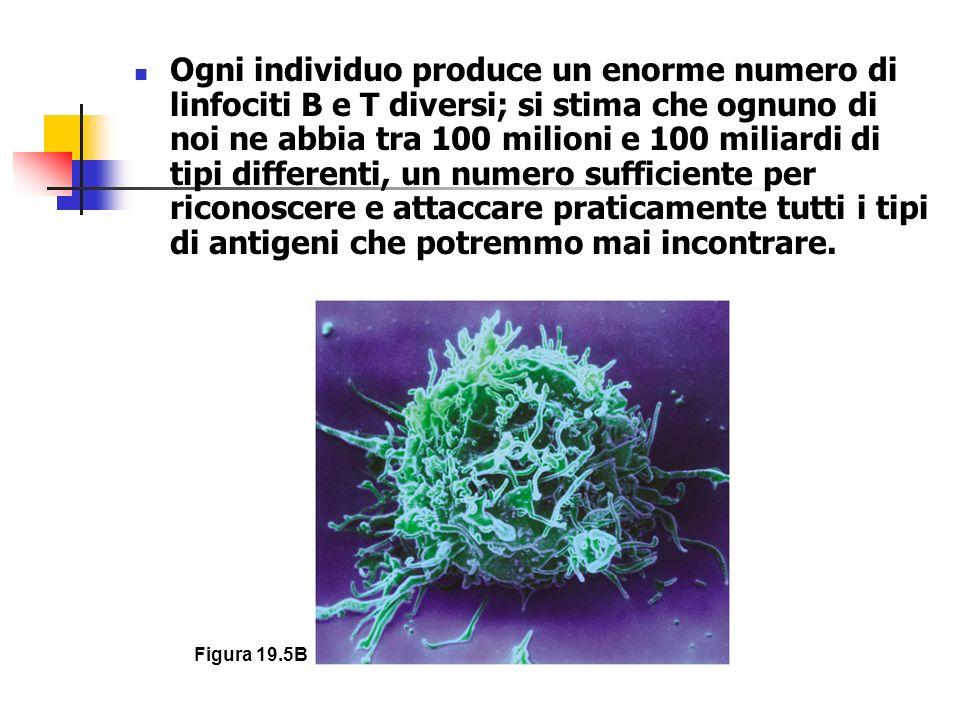 Ogni individuo produce un enorme numero di linfociti B e T diversi; si stima che ognuno di noi ne abbia tra 100 milioni e 100 miliardi di tipi differenti, un numero sufficiente per riconoscere e attaccare praticamente tutti i tipi di antigeni che potremmo mai incontrare.