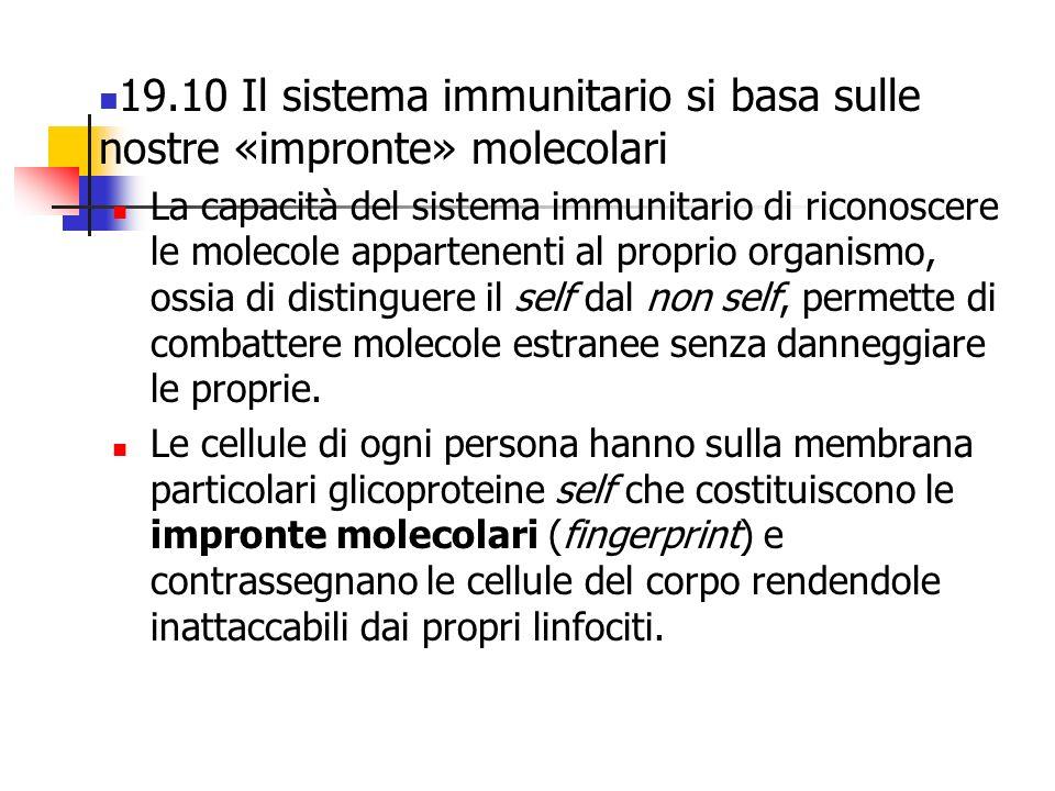 19.10 Il sistema immunitario si basa sulle nostre «impronte» molecolari