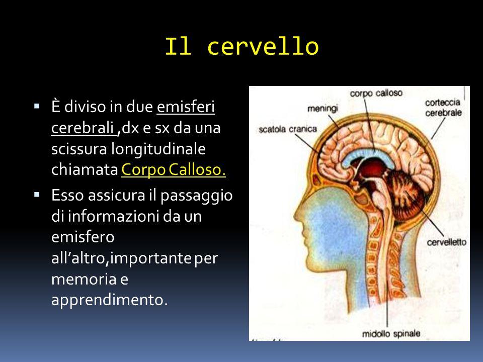 Il cervello È diviso in due emisferi cerebrali ,dx e sx da una scissura longitudinale chiamata Corpo Calloso.