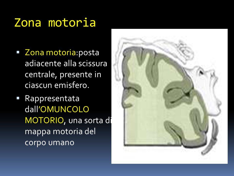 Zona motoria Zona motoria:posta adiacente alla scissura centrale, presente in ciascun emisfero.