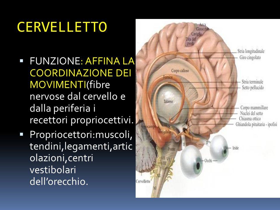 CERVELLETTO FUNZIONE: AFFINA LA COORDINAZIONE DEI MOVIMENTI(fibre nervose dal cervello e dalla periferia i recettori propriocettivi.