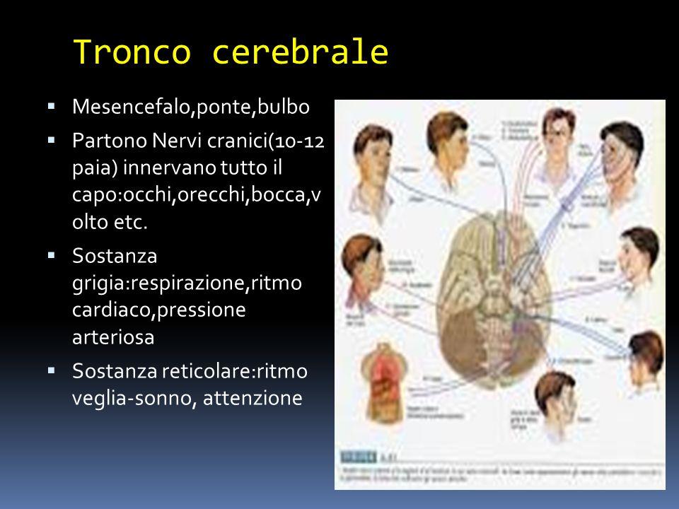 Tronco cerebrale Mesencefalo,ponte,bulbo