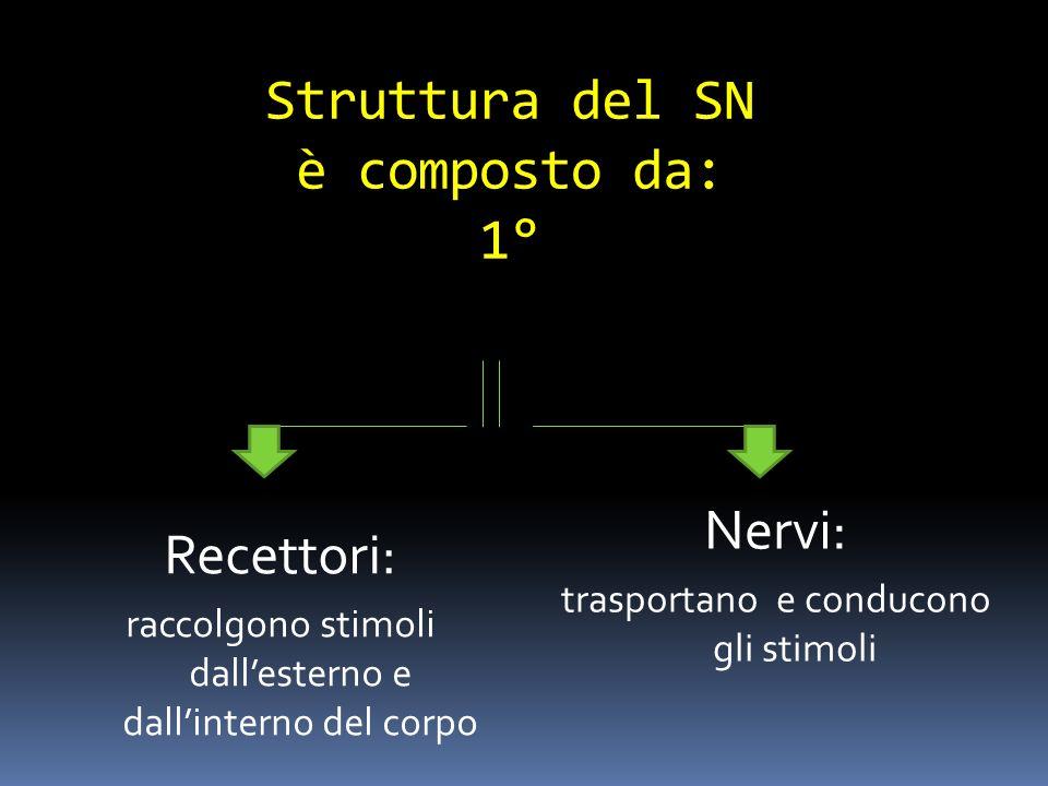 Struttura del SN è composto da: 1°