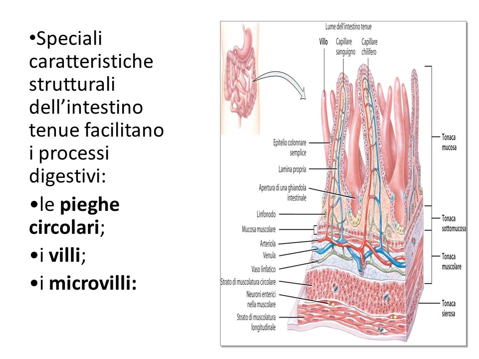Speciali caratteristiche strutturali dell'intestino tenue facilitano i processi digestivi: