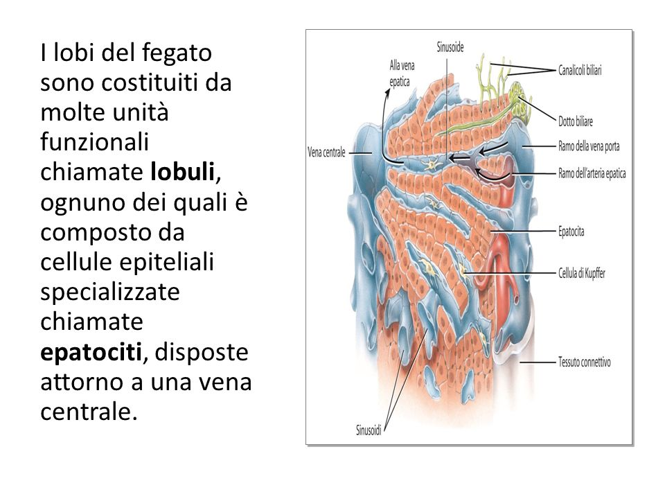 I lobi del fegato sono costituiti da molte unità funzionali chiamate lobuli, ognuno dei quali è composto da cellule epiteliali specializzate chiamate epatociti, disposte attorno a una vena centrale.