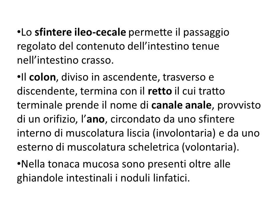 Lo sfintere ileo-cecale permette il passaggio regolato del contenuto dell'intestino tenue nell'intestino crasso.