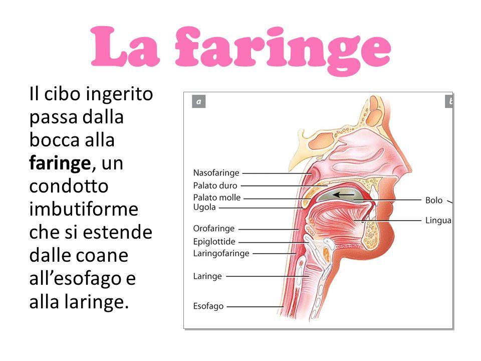 La faringe Il cibo ingerito passa dalla bocca alla faringe, un condotto imbutiforme che si estende dalle coane all'esofago e alla laringe.