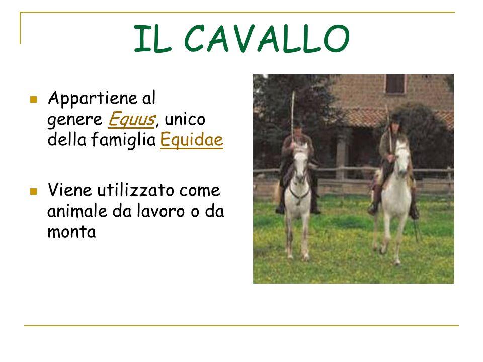 IL CAVALLO Appartiene al genere Equus, unico della famiglia Equidae