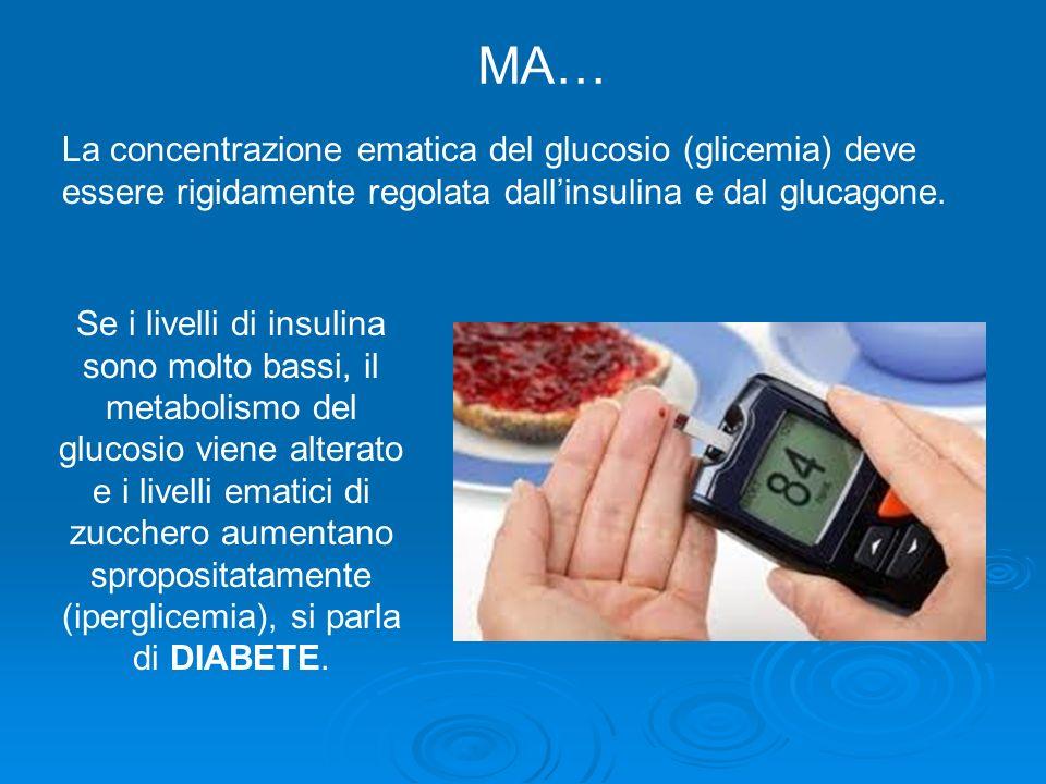 MA… La concentrazione ematica del glucosio (glicemia) deve essere rigidamente regolata dall'insulina e dal glucagone.