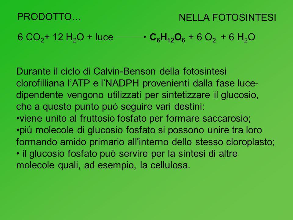 PRODOTTO…NELLA FOTOSINTESI. 6 CO2+ 12 H2O + luce. C6H12O6 + 6 O2 + 6 H2O.