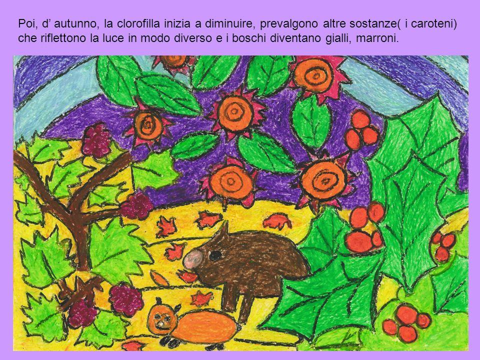 Poi, d' autunno, la clorofilla inizia a diminuire, prevalgono altre sostanze( i caroteni) che riflettono la luce in modo diverso e i boschi diventano gialli, marroni.