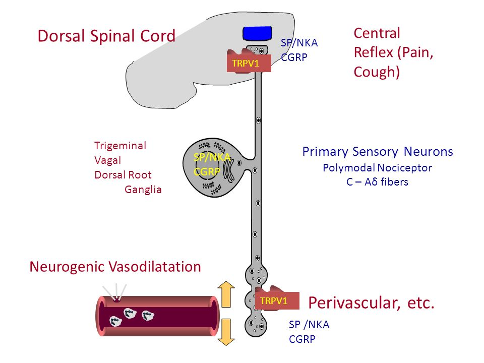 Dorsal Spinal Cord Perivascular, etc. Central Reflex (Pain, Cough)