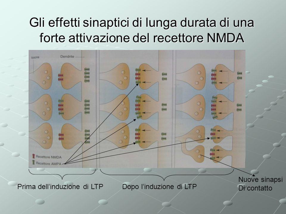 Gli effetti sinaptici di lunga durata di una forte attivazione del recettore NMDA