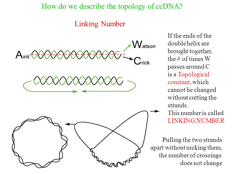 How do we describe the topology of ccDNA