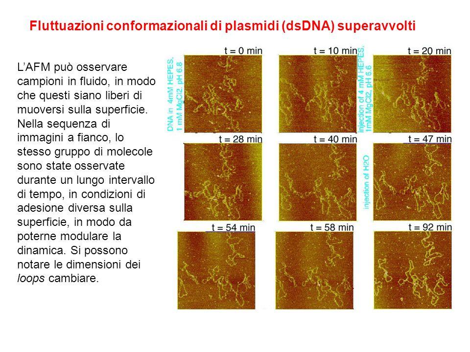 Fluttuazioni conformazionali di plasmidi (dsDNA) superavvolti