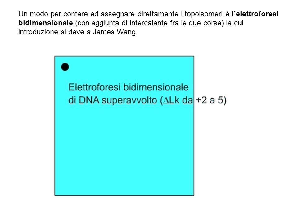 Un modo per contare ed assegnare direttamente i topoisomeri è l'elettroforesi bidimensionale,(con aggiunta di intercalante fra le due corse) la cui introduzione si deve a James Wang