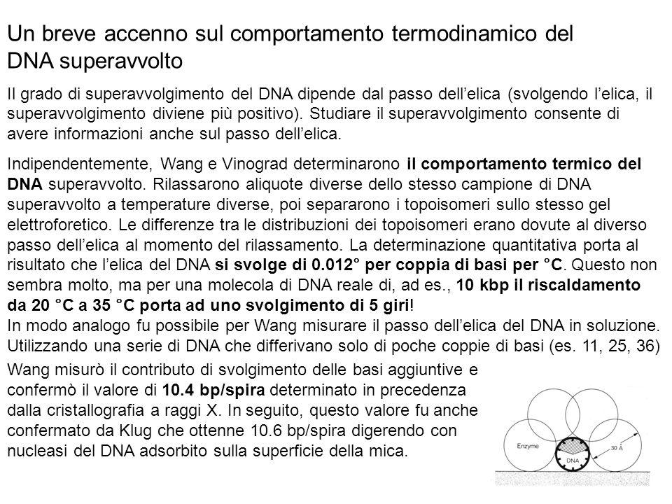 Un breve accenno sul comportamento termodinamico del DNA superavvolto