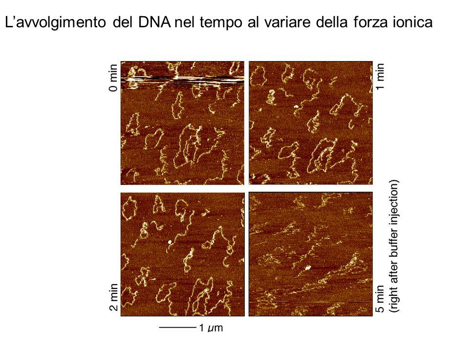 L'avvolgimento del DNA nel tempo al variare della forza ionica