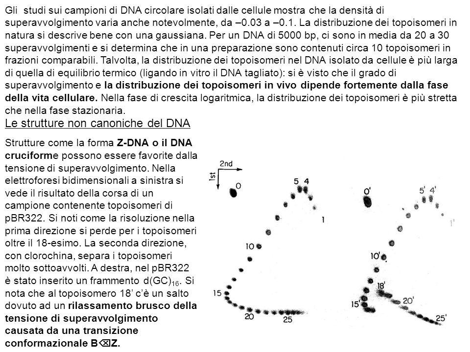 Le strutture non canoniche del DNA