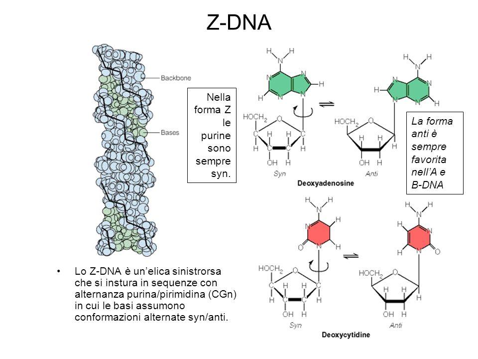Z-DNA Nella forma Z le purine sono sempre syn.