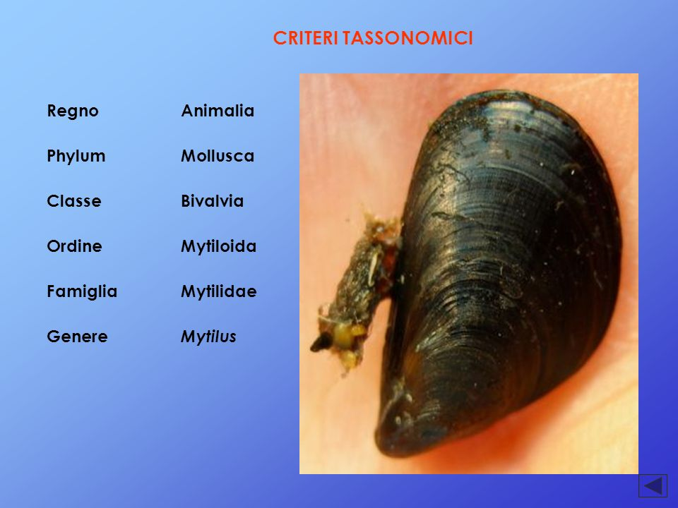 CRITERI TASSONOMICI Regno Animalia Phylum Mollusca Classe Bivalvia