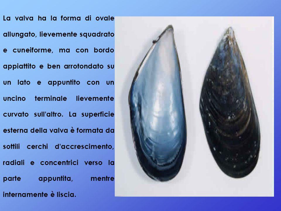 La valva ha la forma di ovale allungato, lievemente squadrato e cuneiforme, ma con bordo appiattito e ben arrotondato su un lato e appuntito con un uncino terminale lievemente curvato sull altro.